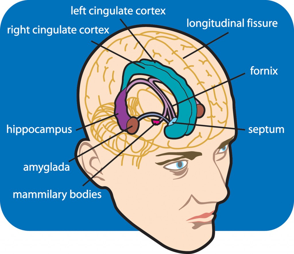 sfo-limbic-brain-with-labels